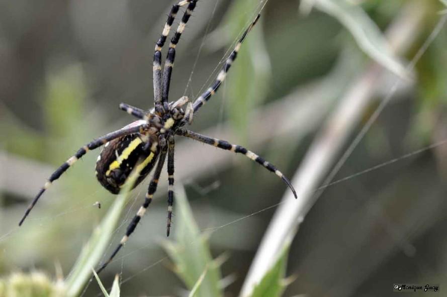 DSC6277-araignée-argiope-f
