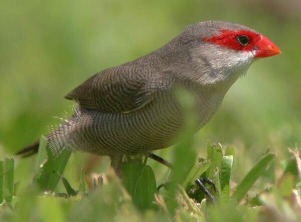 Oiseaux Réunion