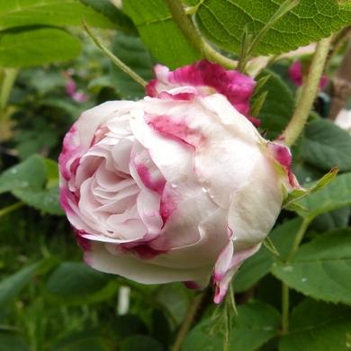 Les journées de la Rose 2016 : clap troisième...