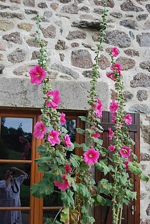 Roses-tremieres-2.jpg