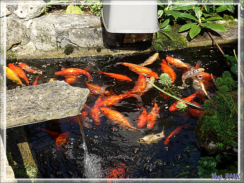 """Cohue au moment de la distribution automatique de """"pellets"""" à mes poissons rouges - Lartigau - Milhas - 31"""