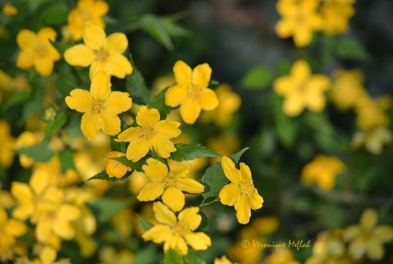 Parc floral de Paris : Corète du Japon, KERRIA japonica 'GOLDEN GUINEA'
