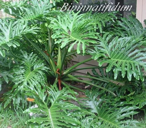 plantes d 39 int rieur philodendron arac es chezmamielucette. Black Bedroom Furniture Sets. Home Design Ideas