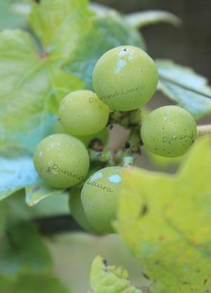 Vigne - Raisins verts - Aout
