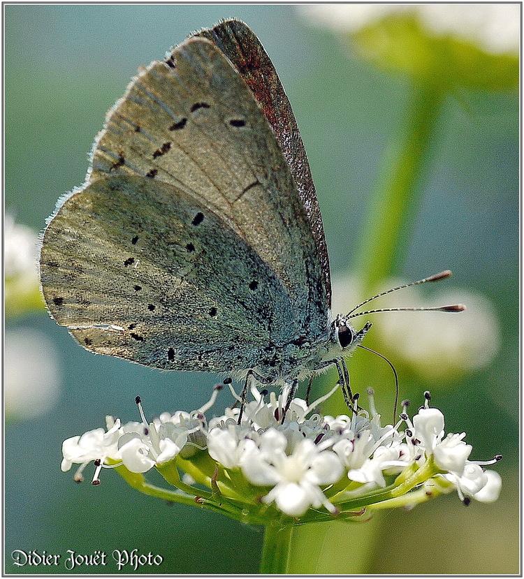 Azuré des Nerpruns / Celastrina argiolus