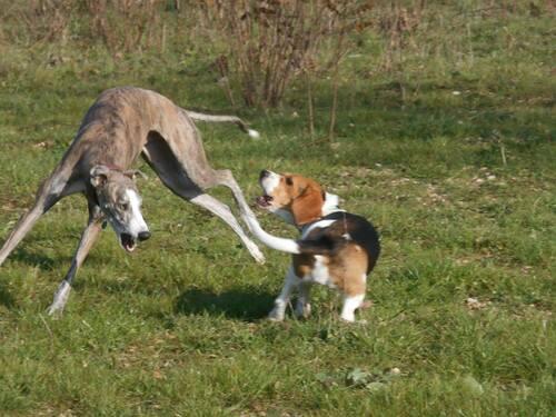 Galgos, Pods et chats et petits chiens / Eviter le drame
