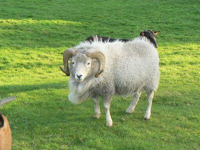 Le chemin de la douve aux agneaux