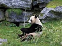 Panda (Pairi Daiza) 2015