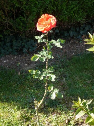 Rose du 131010