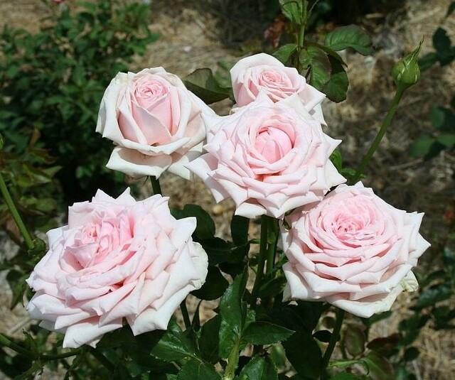 Les Roses de Warren : Pink Powder