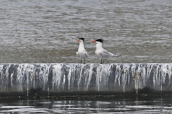 Elegant Tern - Long Beach