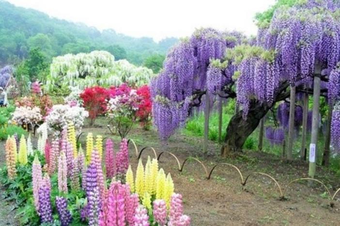 Le jardin botanique de Kawachi Fuji  au Japon.
