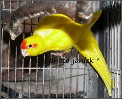 femelle kakariki