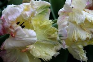 Tulipes Apricot Parrot6