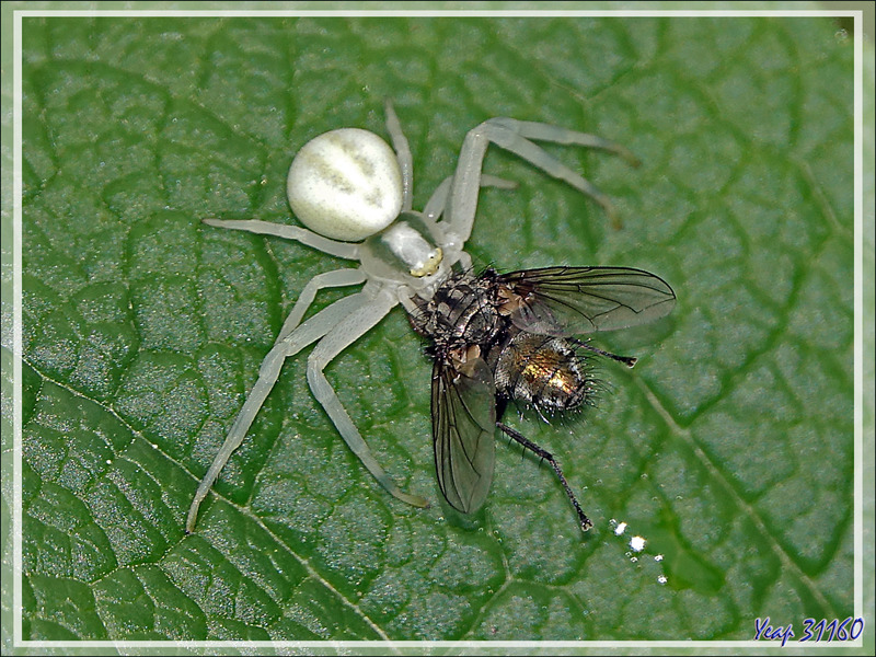 Araignée crabe Thomise variable (Misumena vatia) et sa proie - Lartigau - Milhas - 31