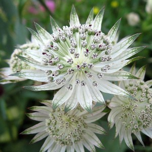 astrantia-major-shaggy-7331-1.jpg