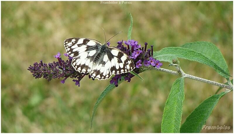 Papillons Demi deuil