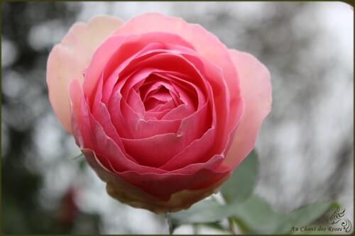 Fin octobre et les roses sont toujours là!