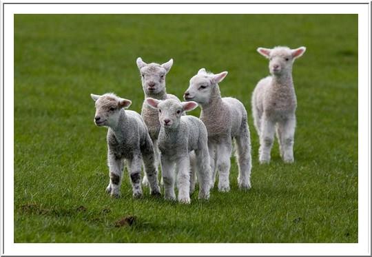 les gentils  agneaux  nouveaux nés  dans les animaux amis jolis-petits-agneaux