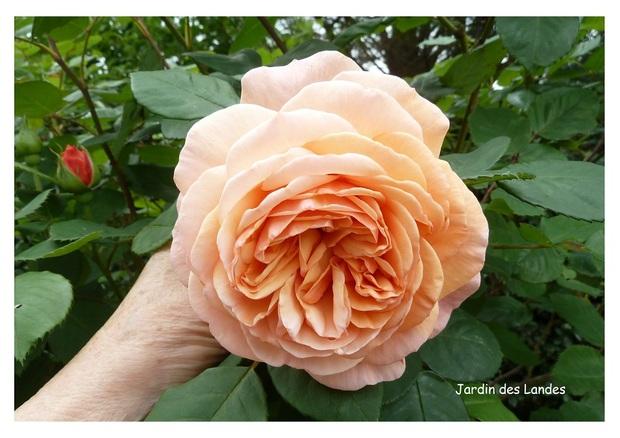 Les roses de mai dans le jardin.