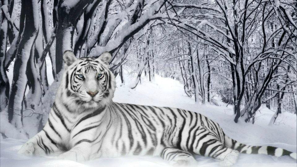 Résultat d'images pour photo tigre blanc