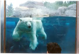 Ours polaire dans un zoo