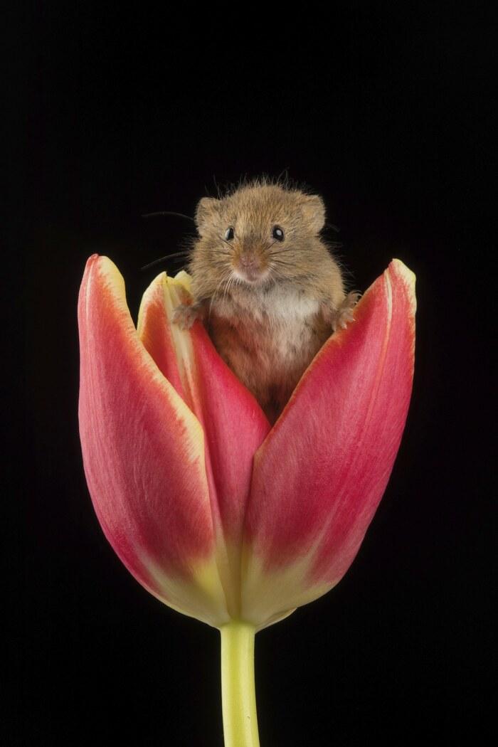 Des photos adorables de souris récoltées gambadant dans des tulipes vous feront sourire