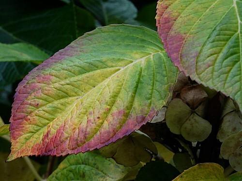 Hortensia-feuilles-27-11-12-P1310925.JPG