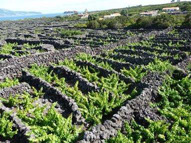 Les vignes de Pico (Açores) ...