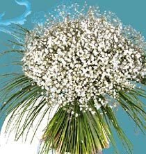 fdm jan08 gypsophile1
