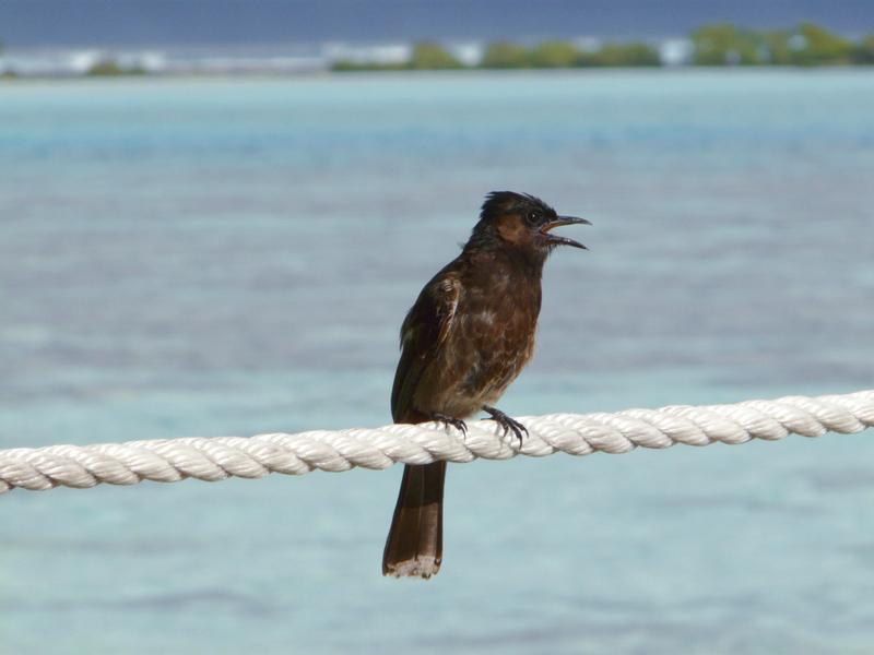 Bulbul à ventre rouge - Moorea - Polynésie française