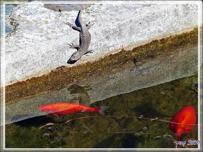 Un lézard curieux rend visite à mes poissons - Lartigau - Milhas - 31