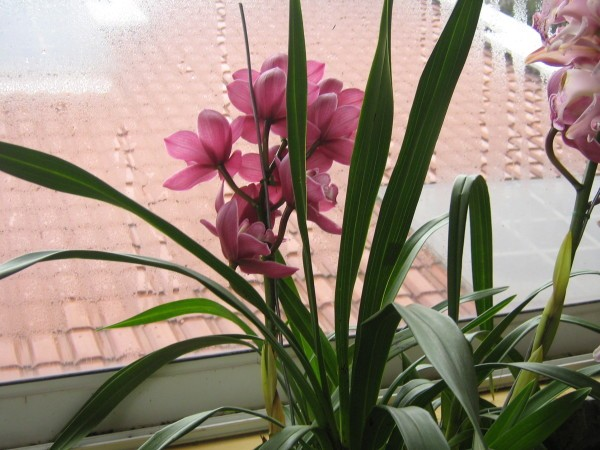 fleurs-en-alsace-7246.JPG