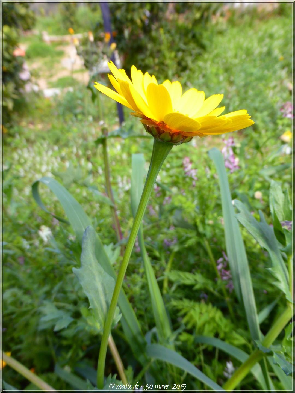Fleur de pissenlit - Corse