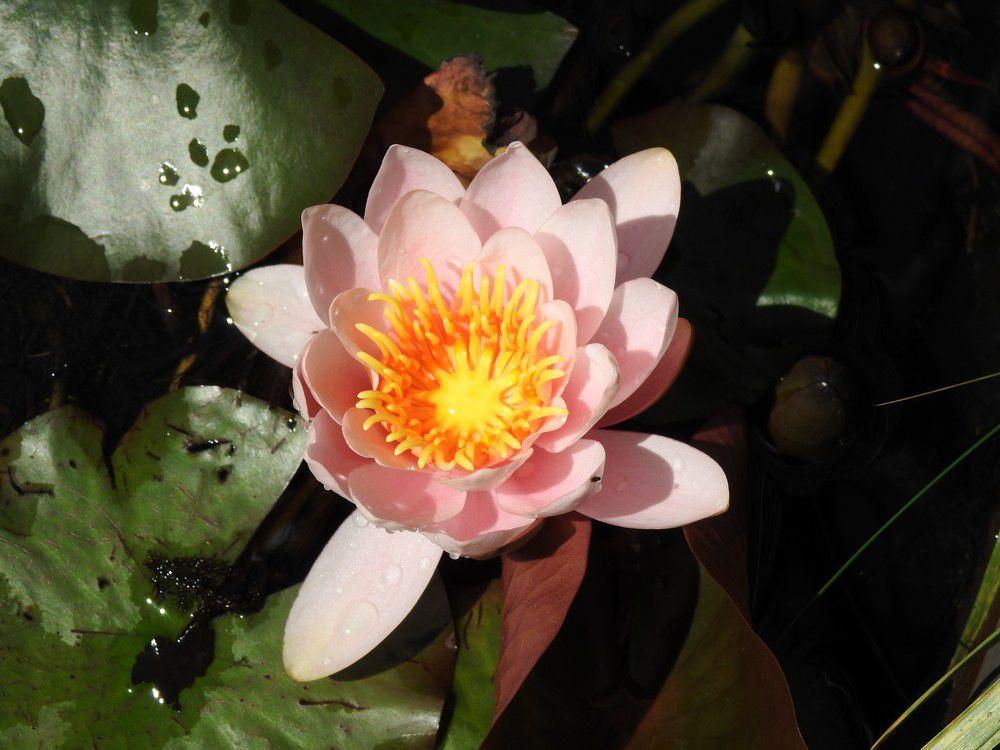 Premières fleurs de nénuphars - mai 2020...