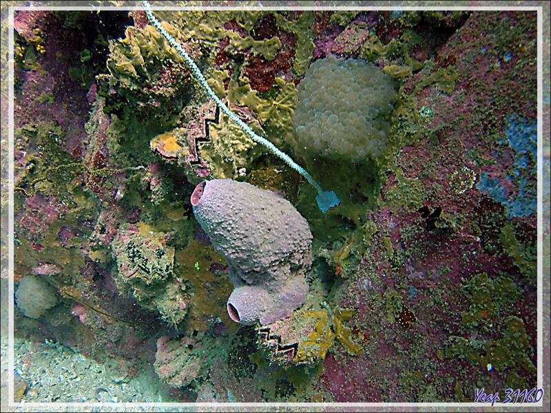 Huitre zigzag, Corail fil de fer, Corail à bulles, Eponge tonneau, etc. - Spot Betalinjona - Nosy Tsarabanjina - Archipel Mitsio - Madagascar