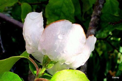 Mon cognassier fleurit