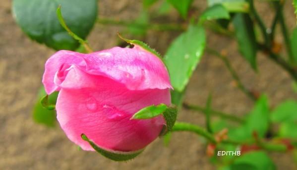 ROSE ROSE APRES LA PLUIE