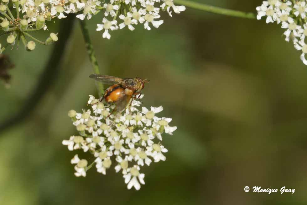Jolie mouche dorée
