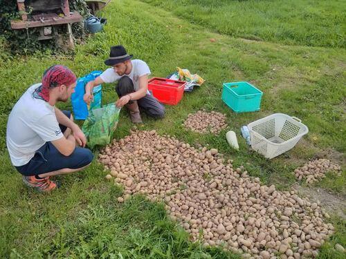 plants de patates pour l'année prochaine!