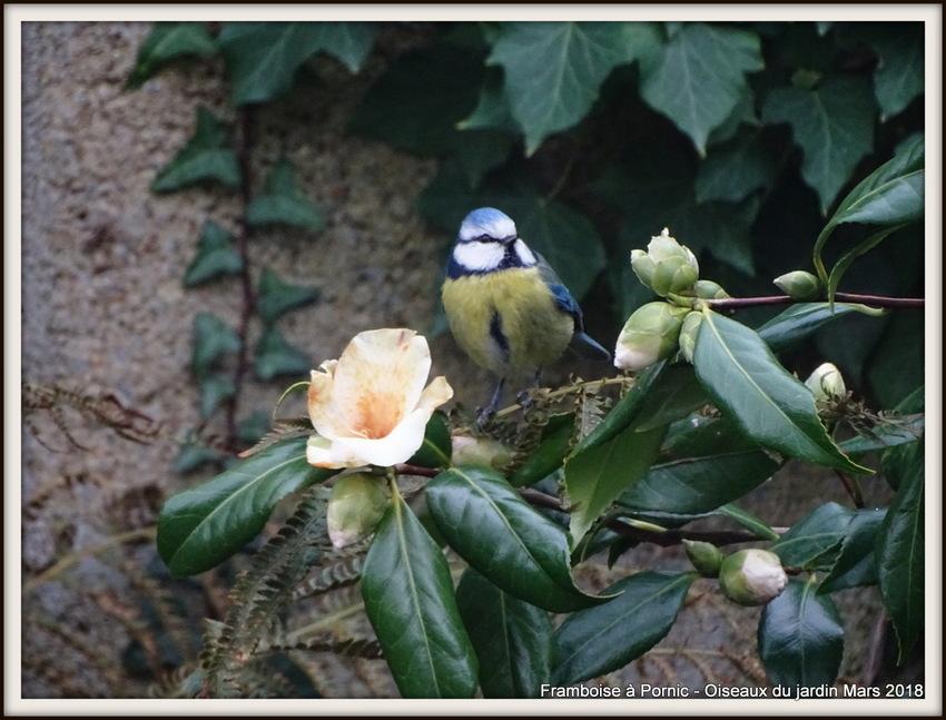 Oiseaux du jardin - Mars 2018