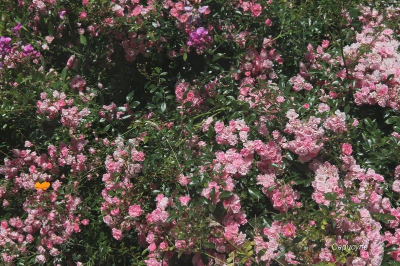 Orgueil et compassion : la rose et la sauge...