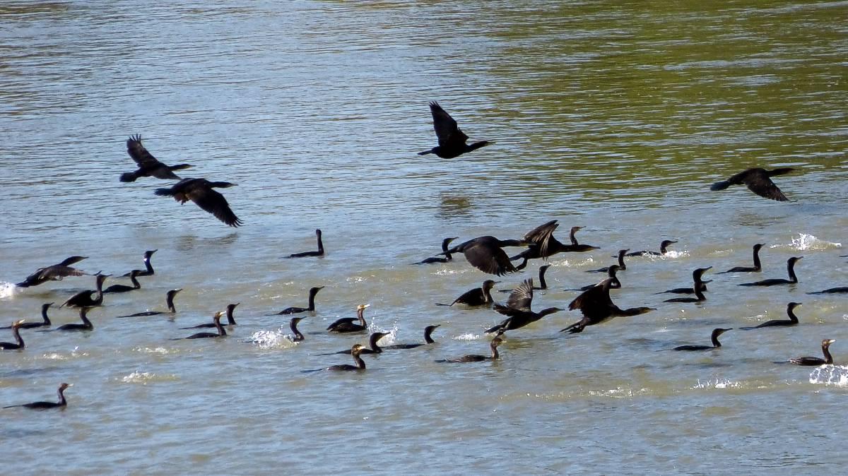 Cormorans sur la Garonne