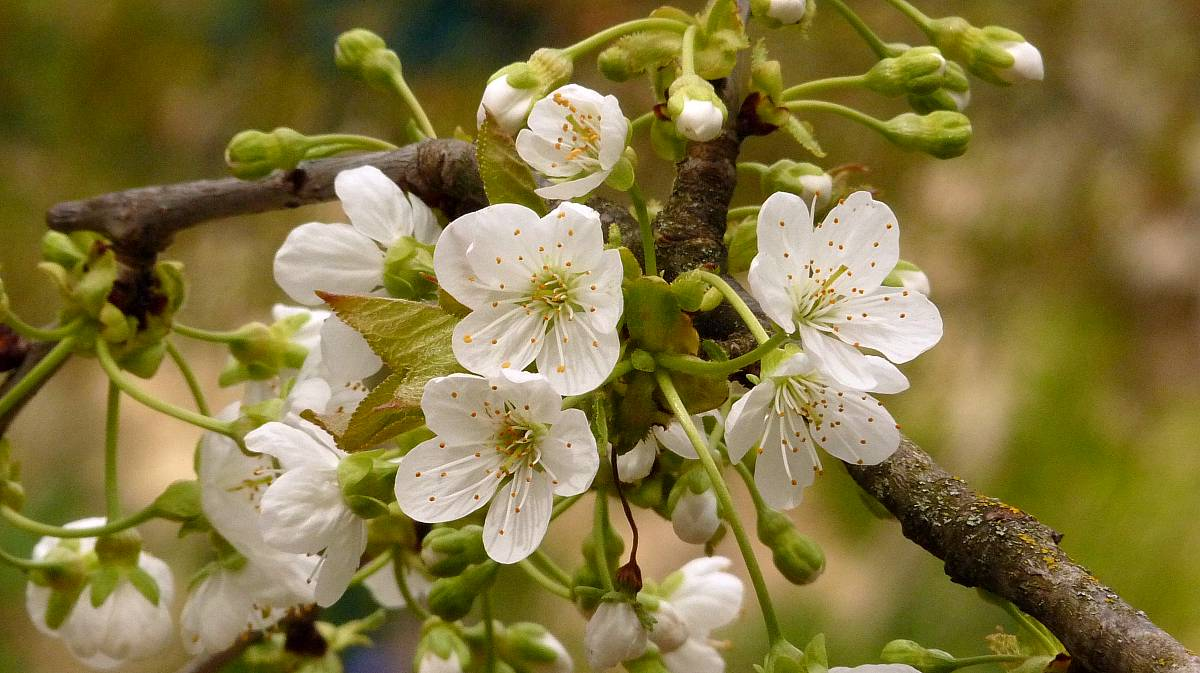 cerisier trompe geai