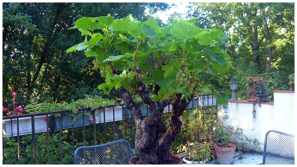 Division du miscanthus variegatus - Pied de vigne en pot ...