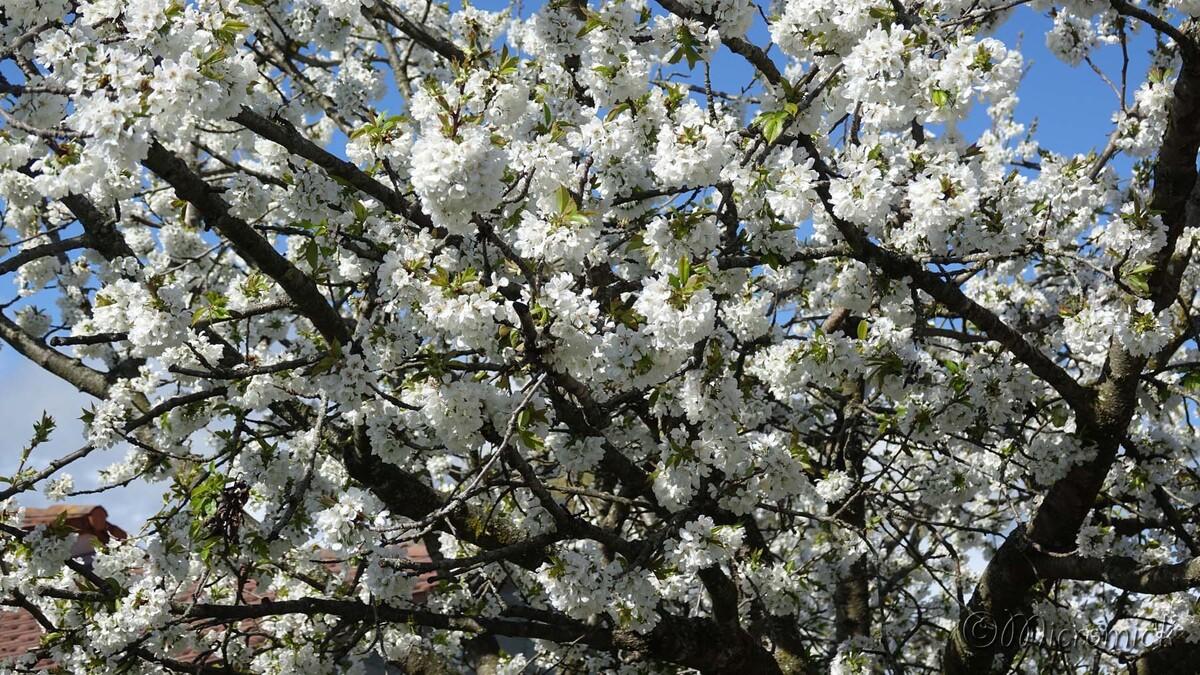 Le cerisier en fleur (Suite)