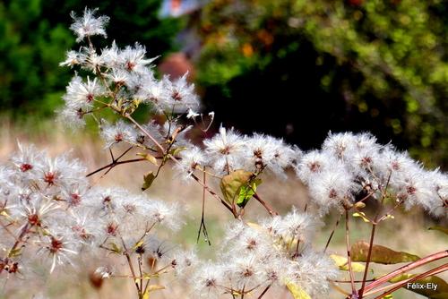 La clématite sauvage en automne