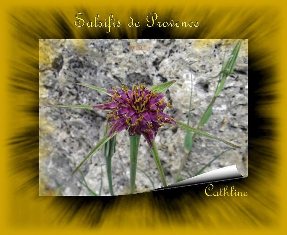 Salsifis de Provence