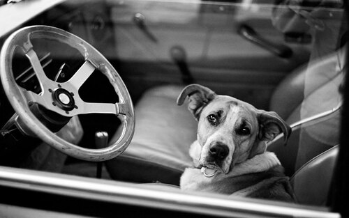 Dog and car