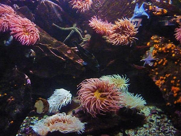 Jour 28 Vancouver aquarium anémones